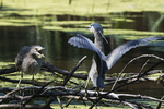 Juvenile and adult black-crowned night heron interaction