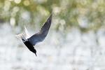 Black tern flight in fresh-water marsh habitatk tern