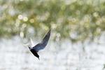Black tern flight in fresh-water marsh habitat