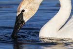 , birds, swans, Trumpeter swan restoration