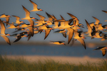 Black skimmer flock flight at last light