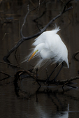 Great egret in early April