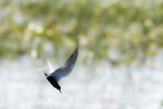 Black tern flight in fresh-water marsh habitat Version #2