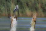 Great blue heron in late August salt marsh habitat
