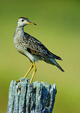 Upland Sandpiper Perched On Post