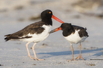 Adult and juvenile American oystercatcher interaction