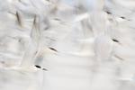Common tern flight abstract in mid September