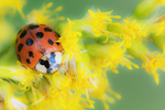 Non-native Asian beetle and blooming goldenrod in early October
