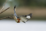 Female belted kingfisher dive in early October