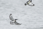 Two belted kingfisher in early October