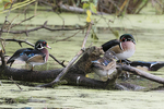 American drake wood ducks on October pond