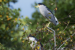 Adult black-crowned night heron in mid October