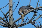 Merlin in autumn migration with prey