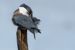 Preening female belted kingfisher in late October