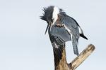 Female belted kingfisher behavior