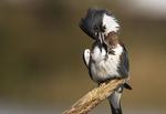 Female belted kingfisher preening behavior