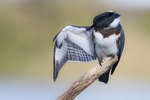 Female belted kingfisher preening behavior