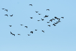 Double - creste cormorants in autumn migration