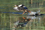 Female mallard take - off from October pond