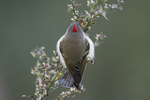 Ruby-crowned kinglet foraging during fall migration