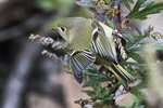 Ruby-crowned kinglet during fall migration