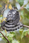 Juvenile Sharp-shinned hawk fanning tail in late October