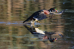 Drake American wood duck flight on late October pond
