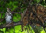 "Wood Thrush Near Nest ""Freezes"" To Escape Detection"