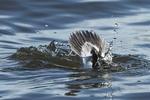 Drake bufflehead duck dive in early November