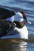 Drake bufflehead duck in early November