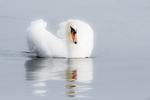 Male mute swan in aggressive pose