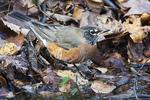 American robin in mid-November