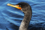 Double-crested cormorant in late November