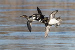 Male and female hooded merganser flight in late November