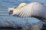 Mute swan cob displaying aggressive behavior