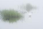 Great egret foraging in fog