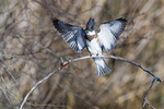 Female belted kingfisher landing on late November perch
