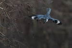 Female belted kingfisher flight in late November