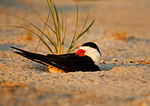 Black Skimmer And Young Chick In Sweet Light