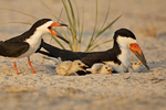 Nesting Black Skimmers With Three Chicks Late Light