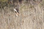 Northern harrier hunting in early December salt marsh wetland