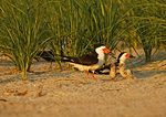 Nesting Black Skimmers With Begging Young Chicks In Nesting Habitat