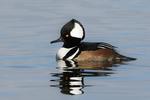 Drake hooded merganser swimming on mid-December pond