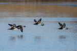 Hooded merganser flight in mid-December pond
