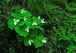 White Erect Trillium On Mossy Cliff