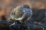Mourning dove  in late fall