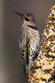 Yellow-shafted flicker in late fall