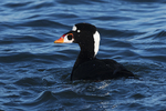 Male surf scoter in late December