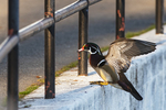 Drake wood duck in urban environment