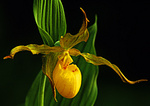 Large Flowered Yellow Lady's Slipper